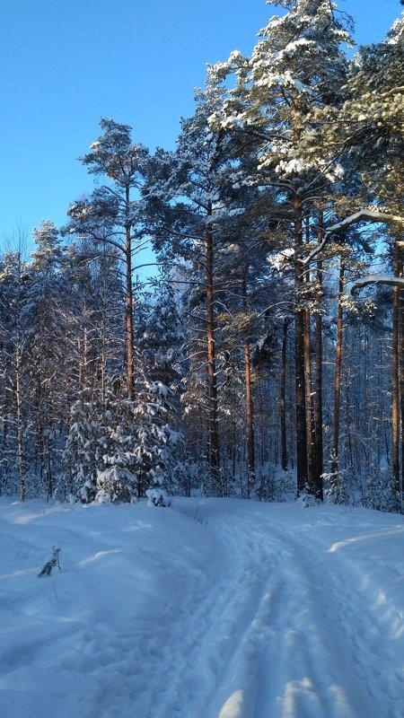 Зима в бору - OlegVS S