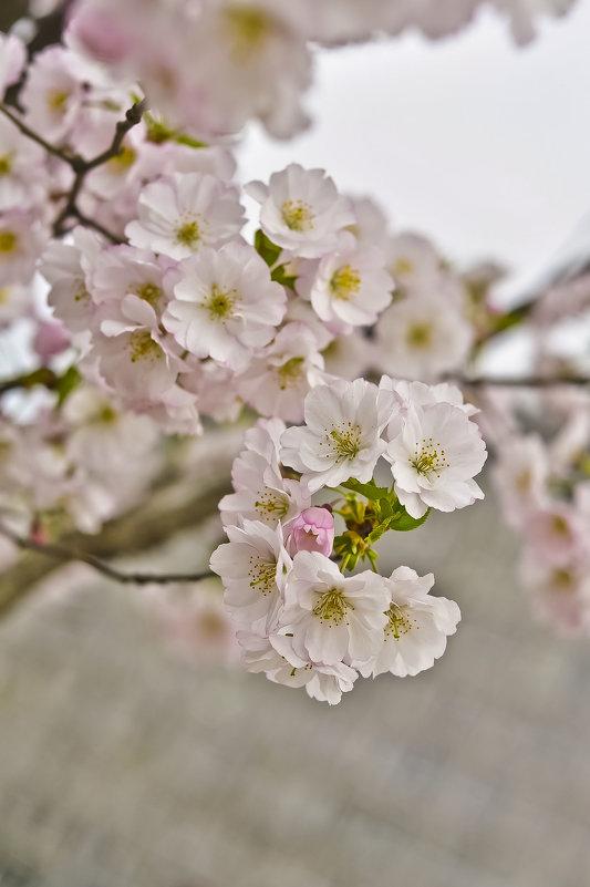 Прелестной сакуры цветы