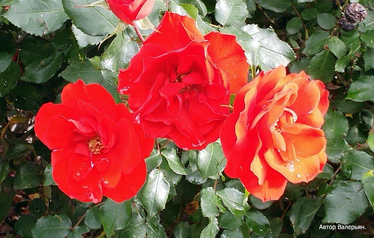 Красные розы. - Валерьян Запорожченко