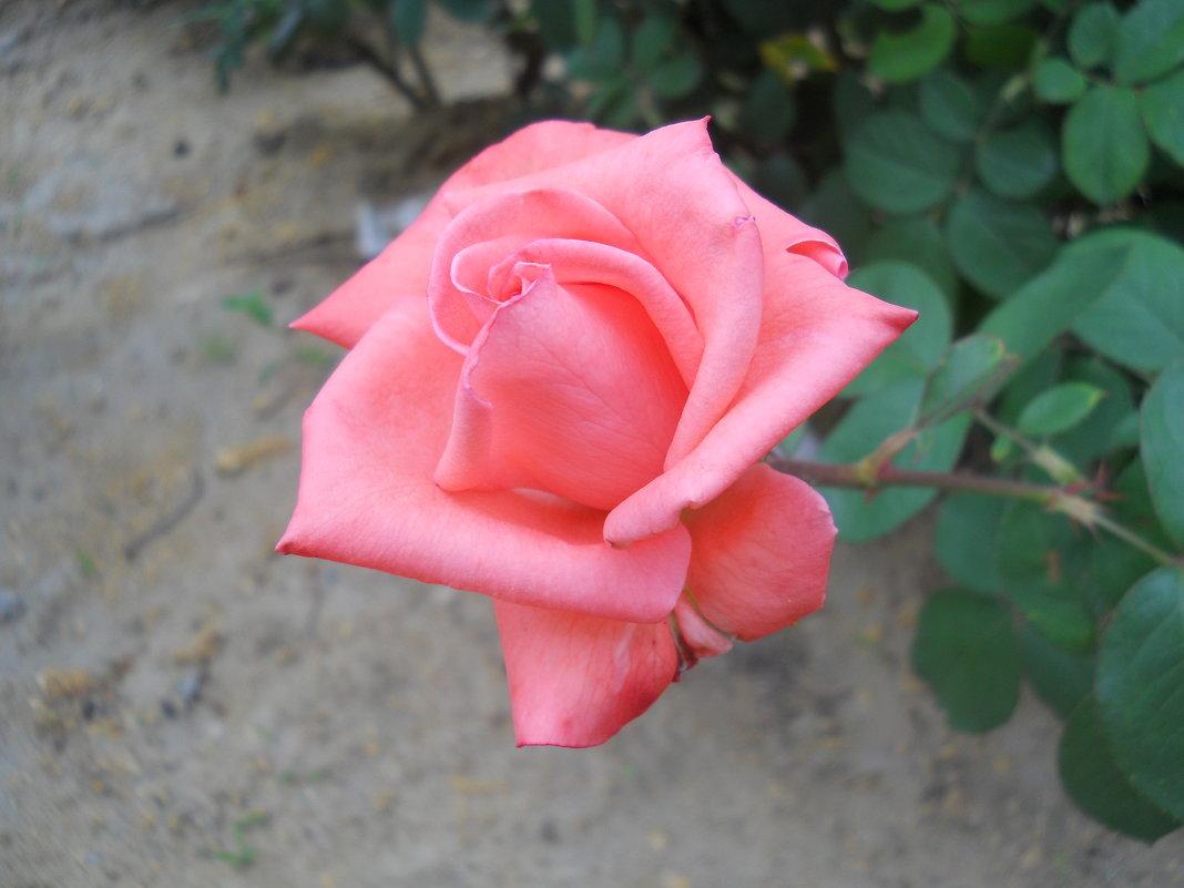 Про розы... - Галина