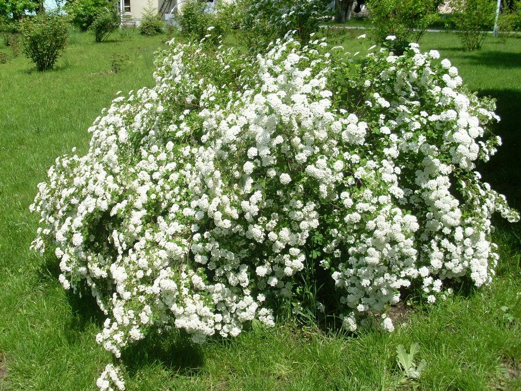 Белой фатой нарядилась весна. - Нина Акарцева