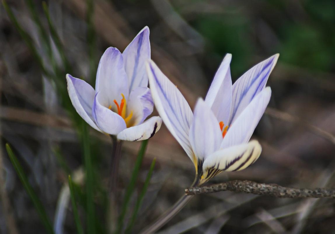 Первые цветы. - Vladimir Lisunov