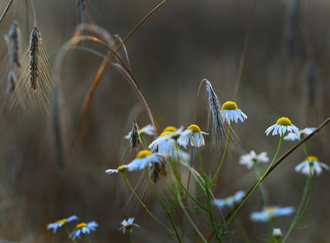 Ромашки на закате в хлебном поле - Вячеслав Побединский