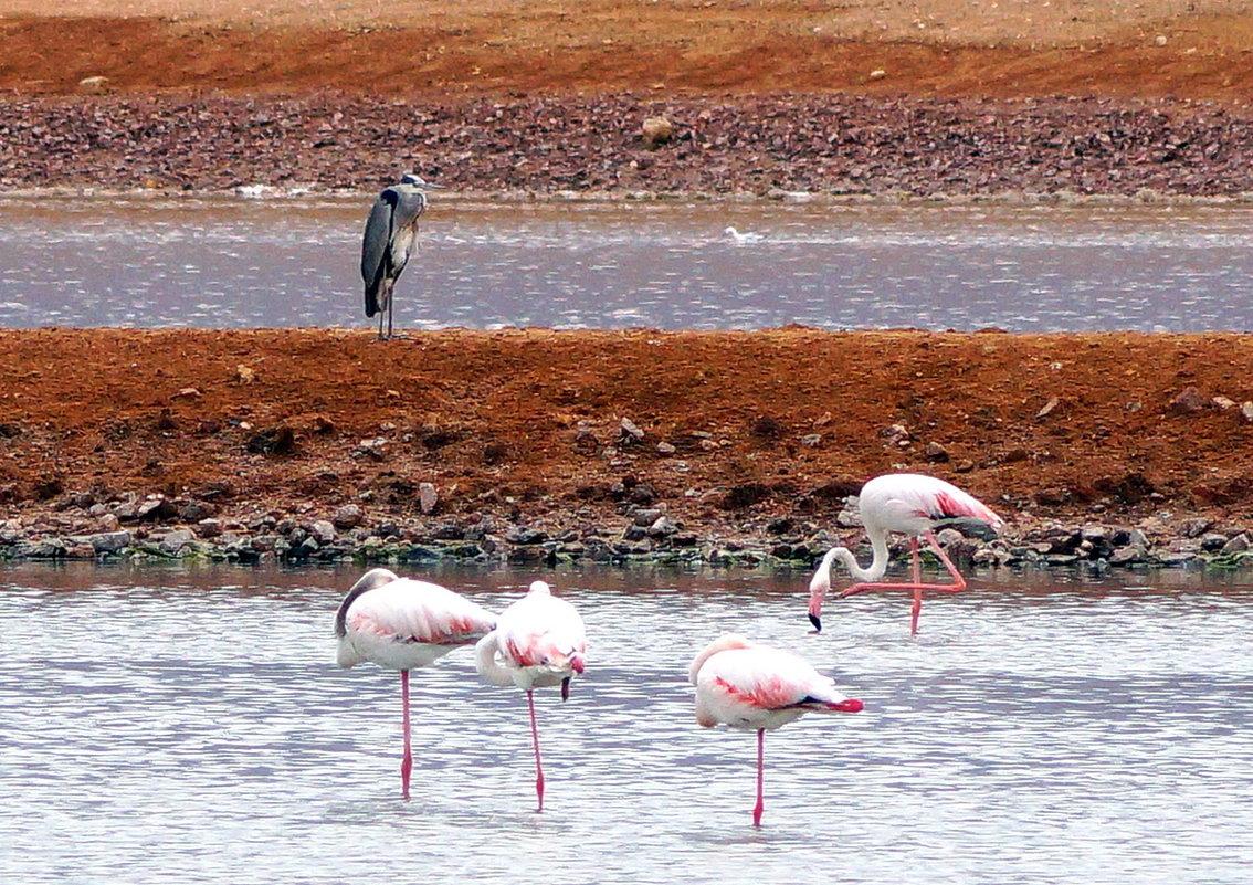 Фламинго - Igor P