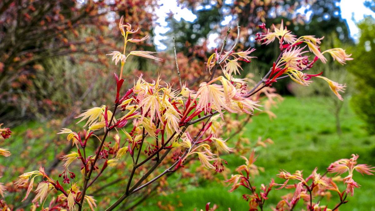 сложное название Acer Palmatum Beni Tsukasa георгий а