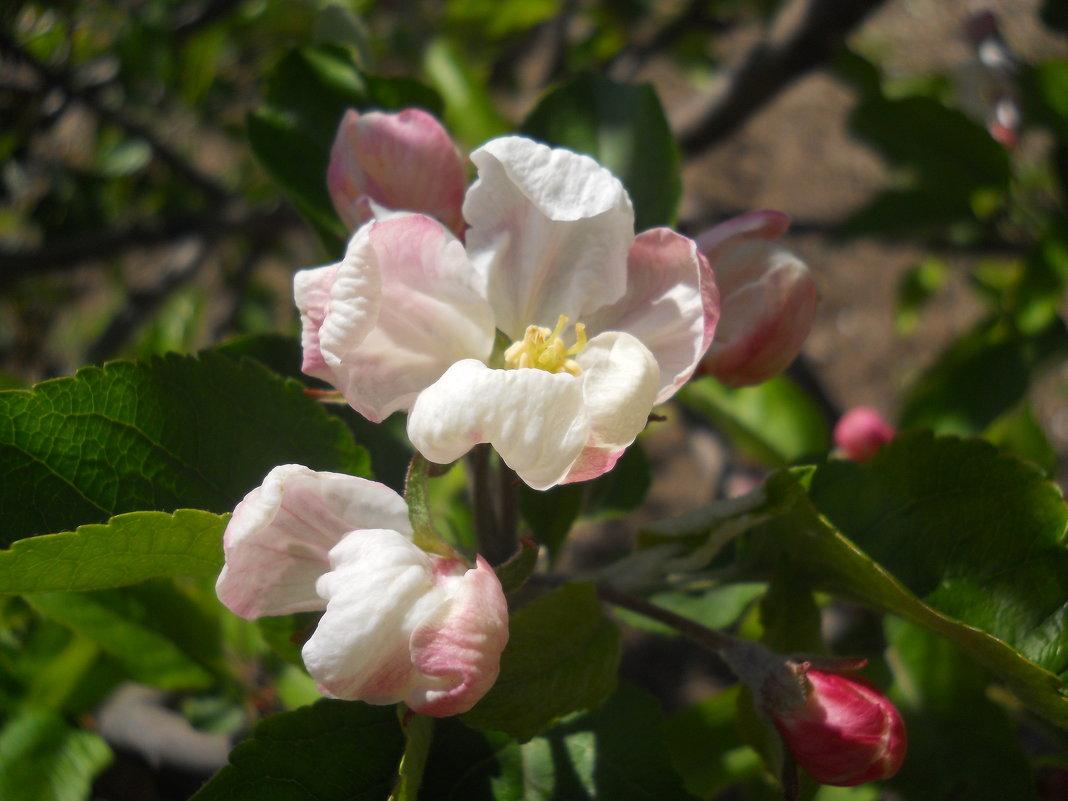 Яблоня в цвету - Галина