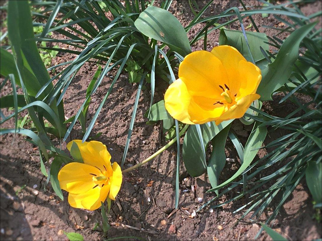 Жёлтые тюльпаны - Надежда