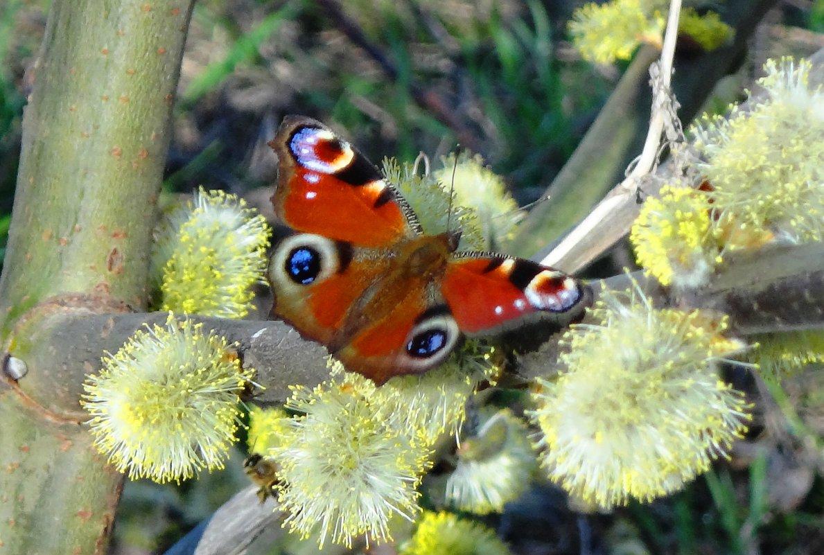 Бабочка на вербе