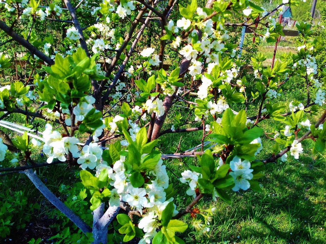 яблоня цветет - Владимир