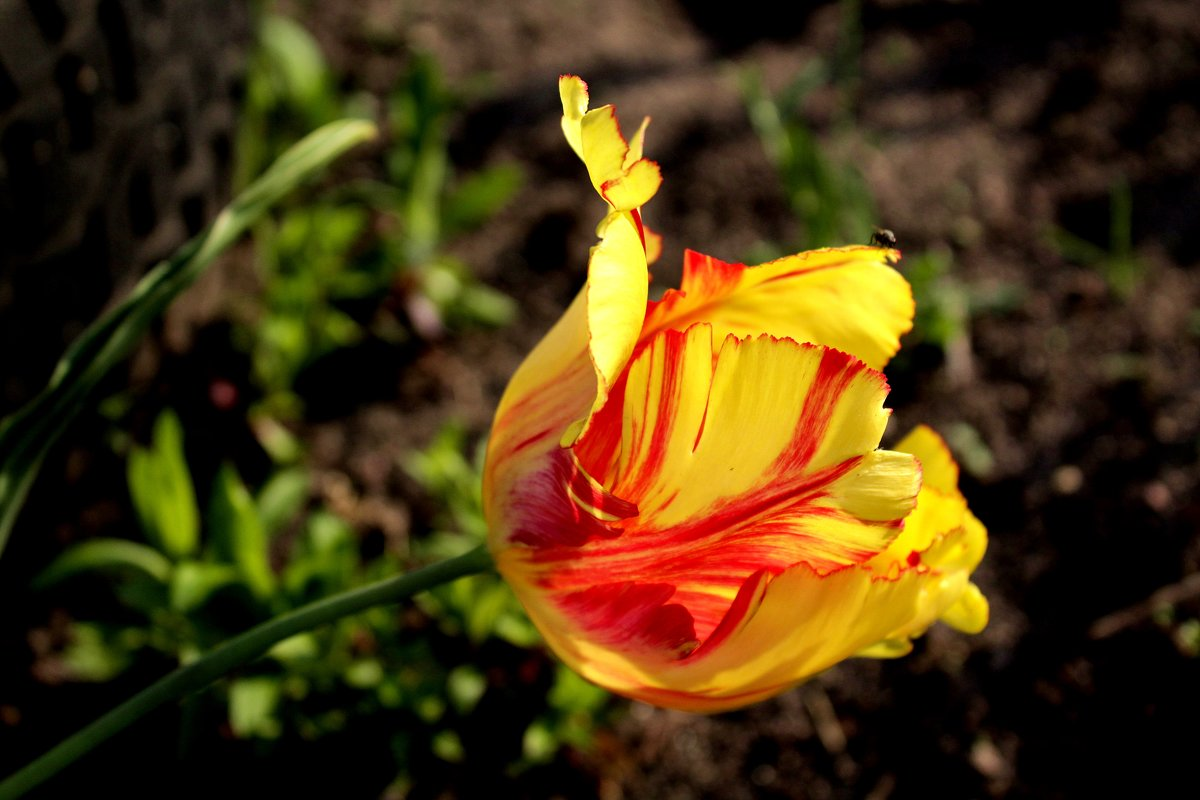 Тюльпан. - Антонина Гугаева