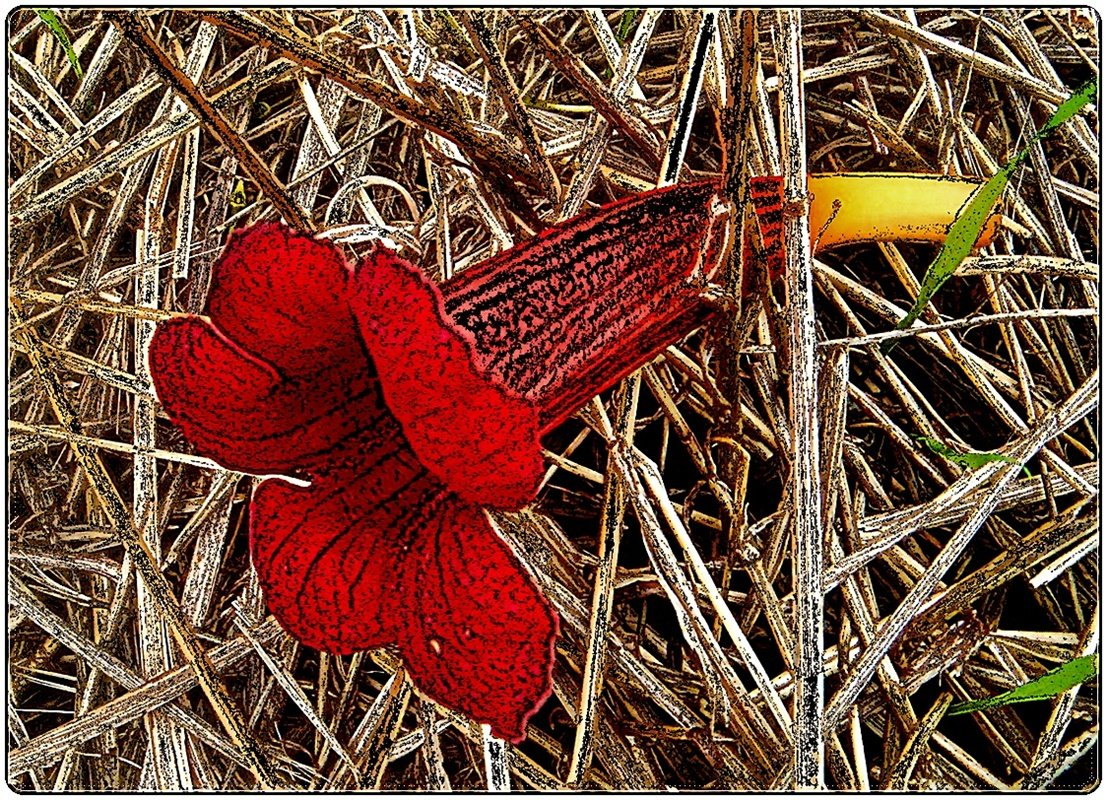 Опавший цветочек кампсиса - Нина Корешкова
