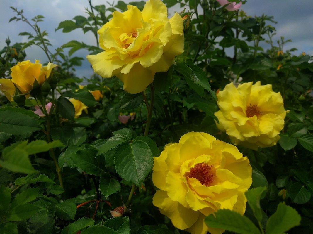 Золотые розы - Ирина