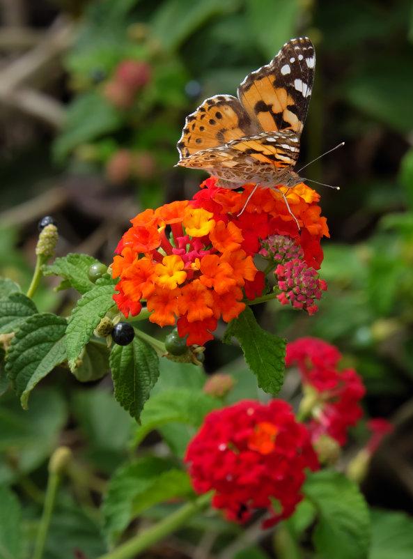 Бабочка на лантане красной - Александр Деревяшкин