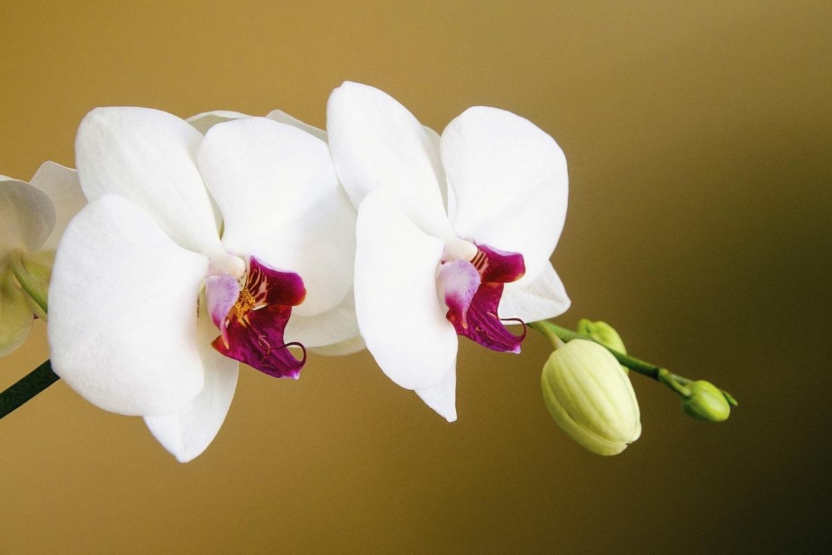 Орхидея - Kliwo