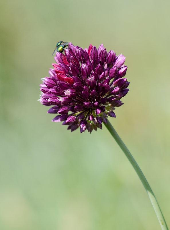 Цветок и случайная муха. - Стас