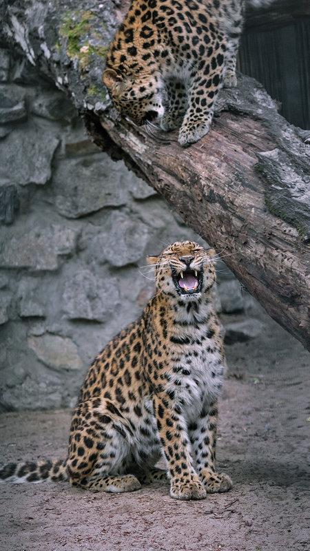 Леопарды - Владимир Габов