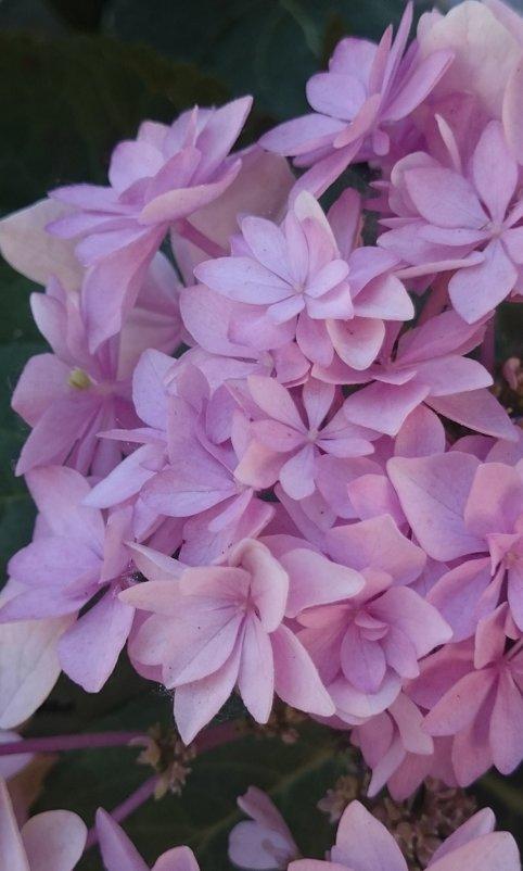 Гортензия цветёт - Galina194701