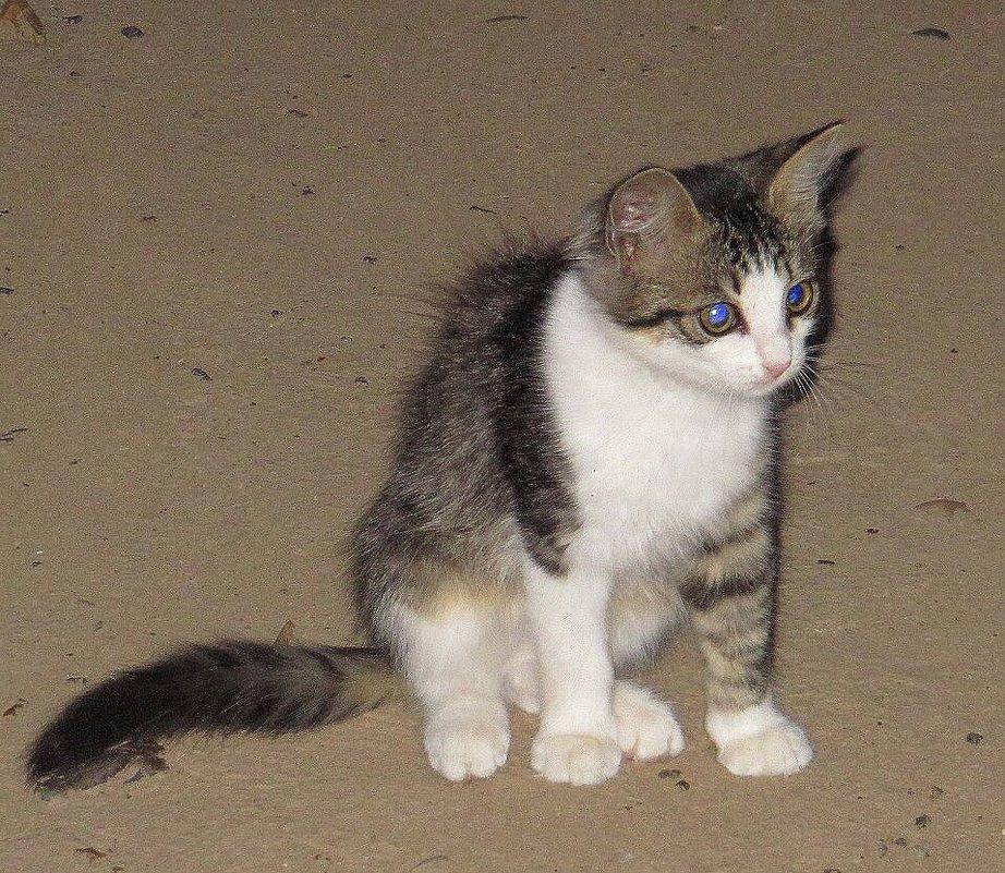 Котёнок с голубыми глазами - Вера Щукина