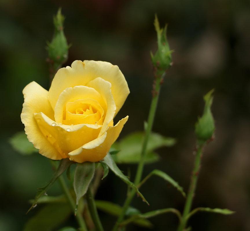 Солнечная роза - Светлана