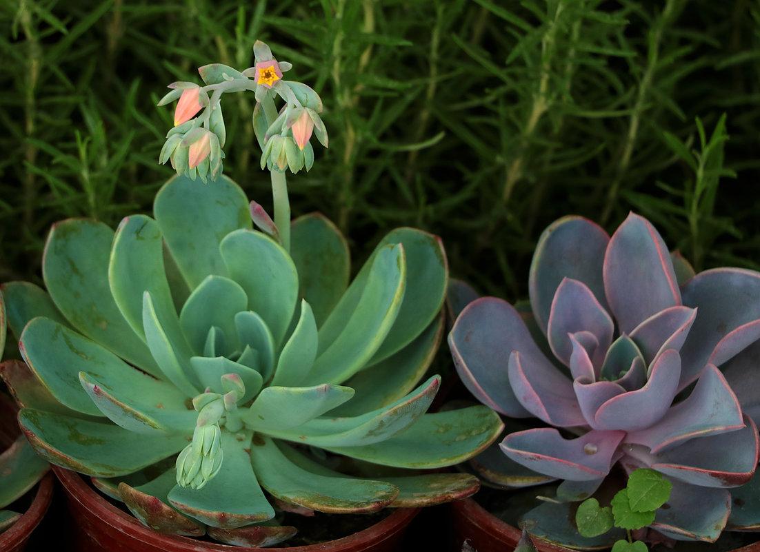 Каменный цветок цветет - Светлана
