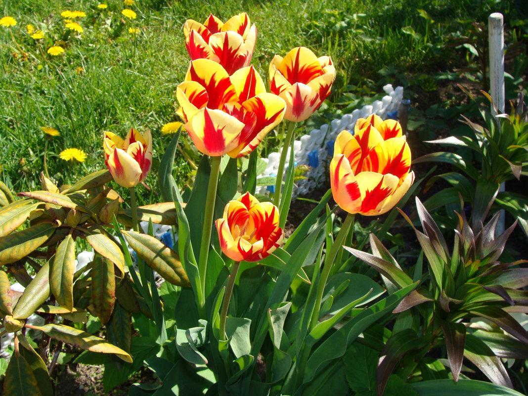 Тюльпаны - laana laadas