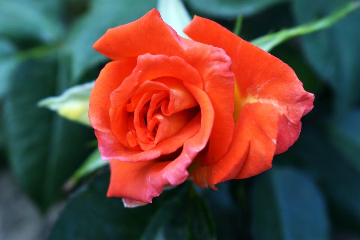 Розы... - Светлана