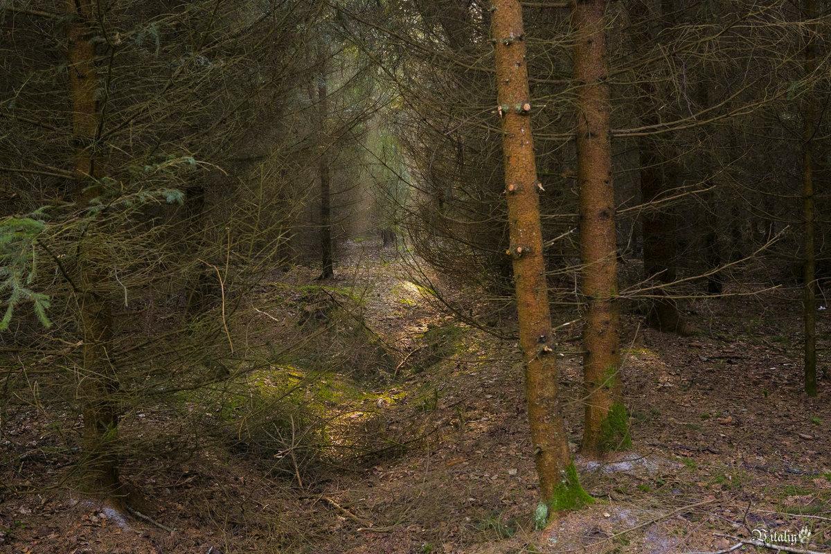 В лесу на Куршской косе - Виталий Латышонок