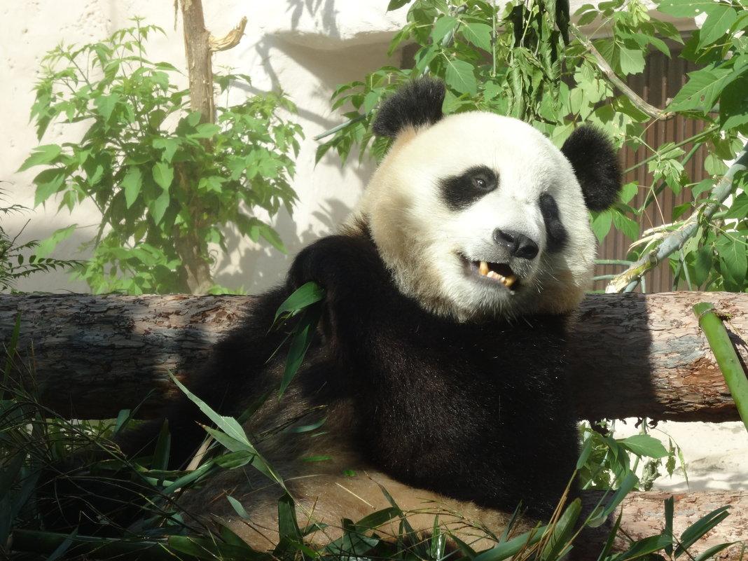 Панда - Наташа