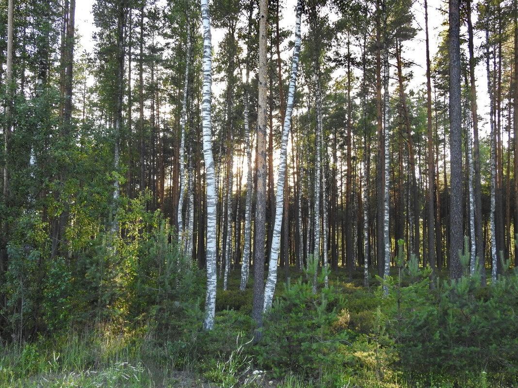 вечерний лес - ИННА