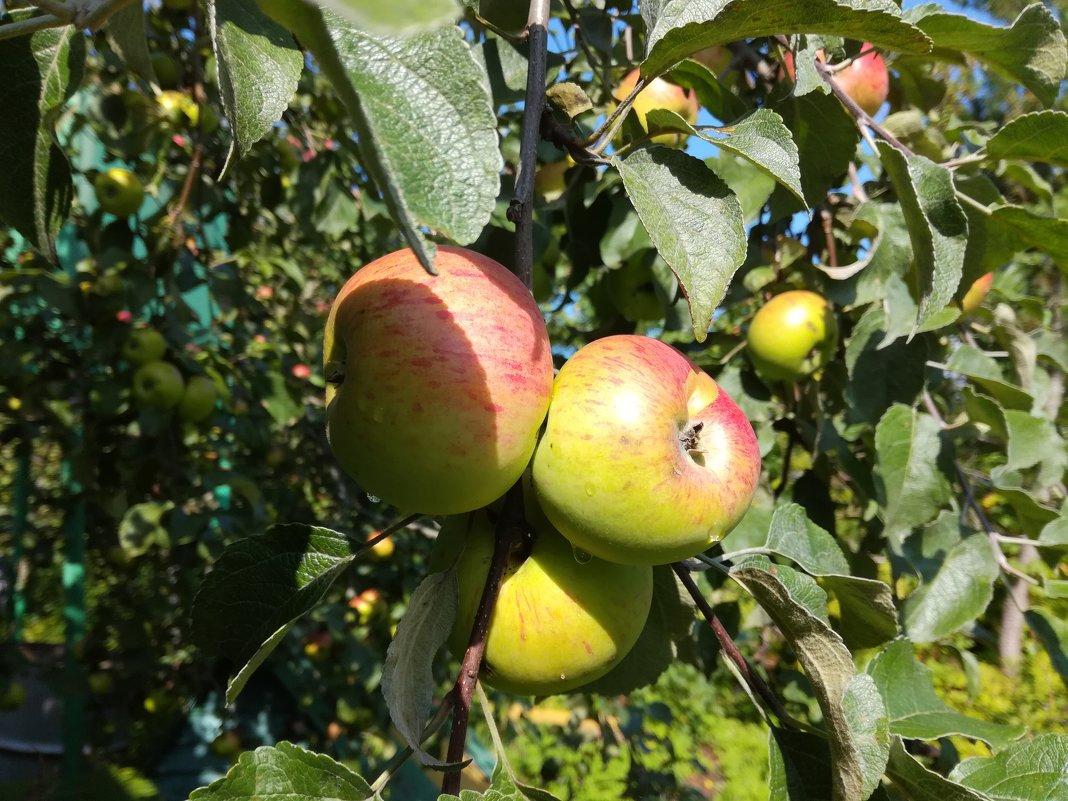 Яблочки - BoxerMak Mak