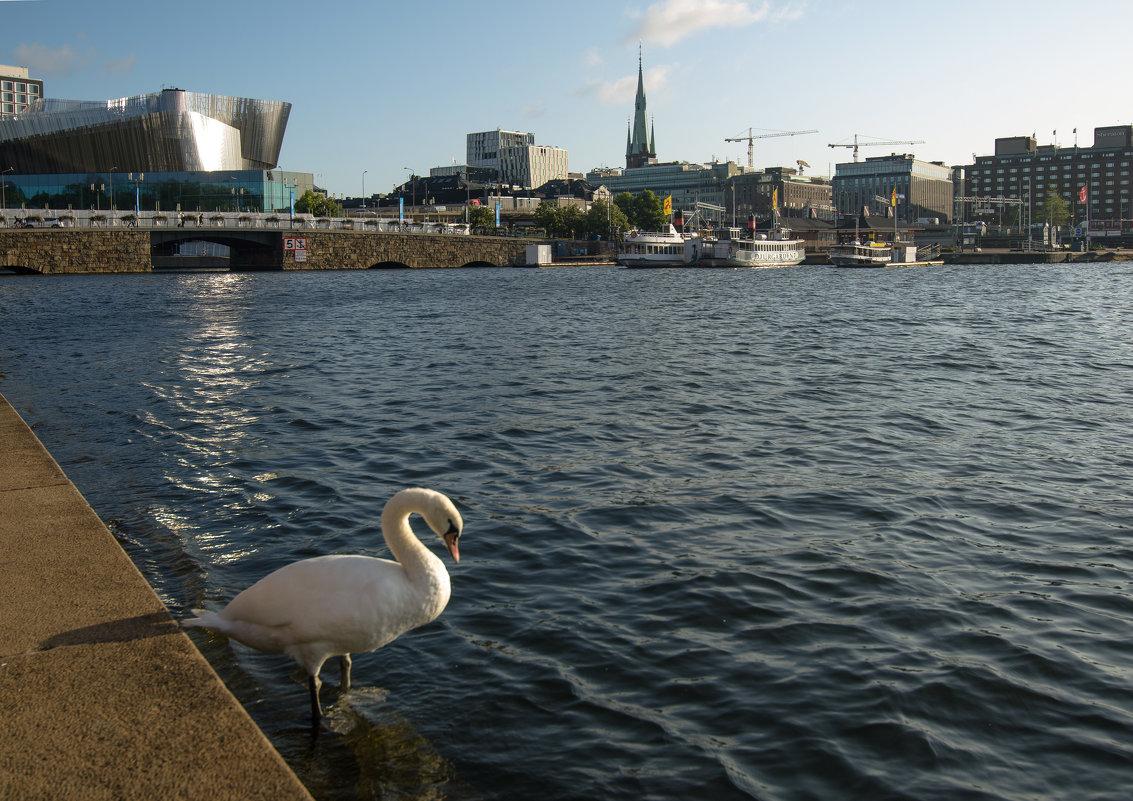 Лебедь возле стокгольмской ратуши - Наталья Левина