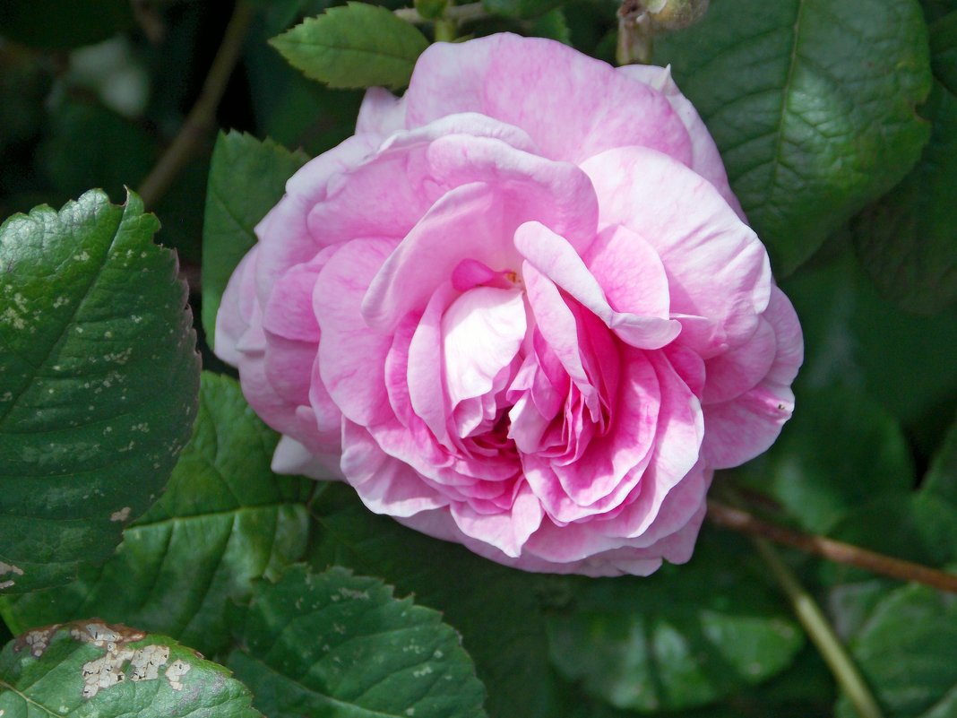 Нежная роза - Galina Solovova