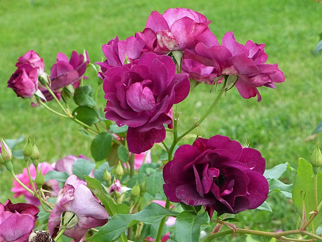 Розы ВДНХ - Лидия Бусурина