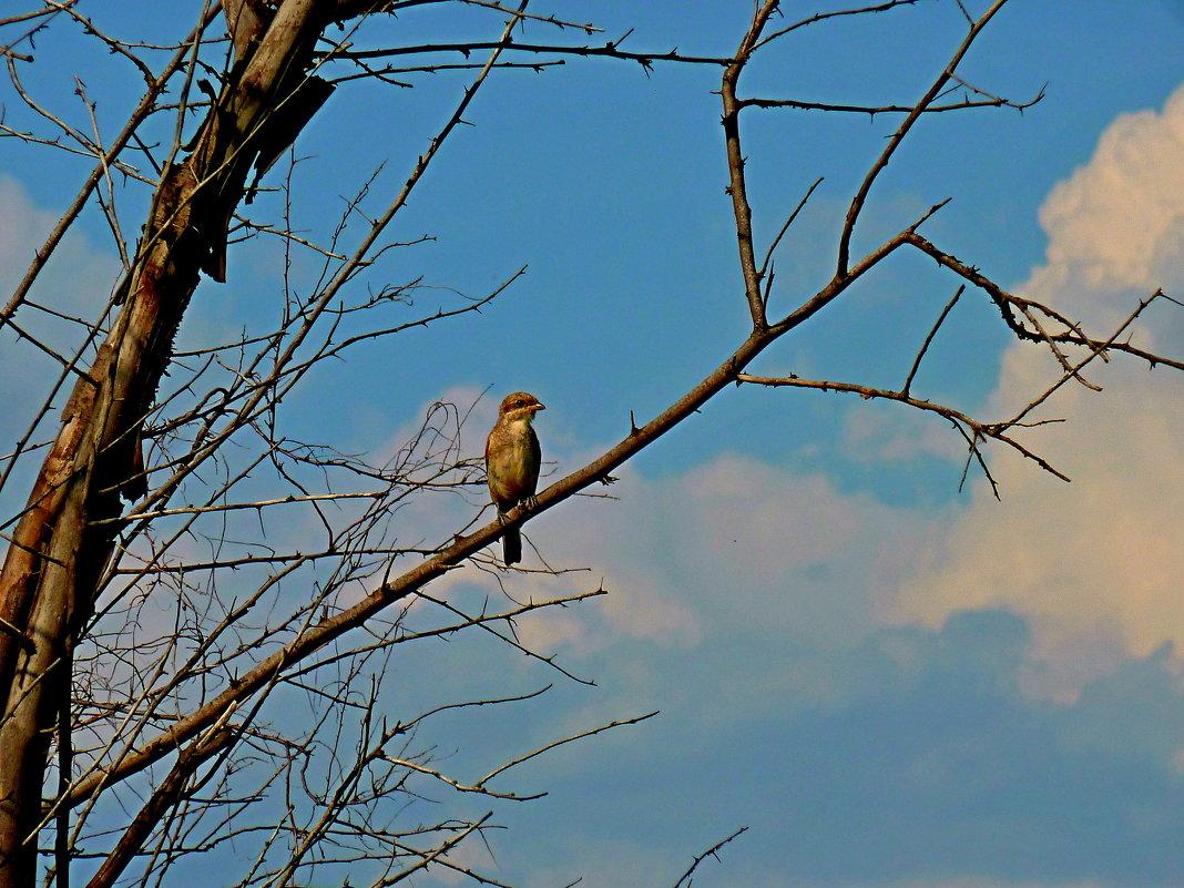 Молодой сорокопут жулан на наблюдательном пункте - Лидия Бараблина