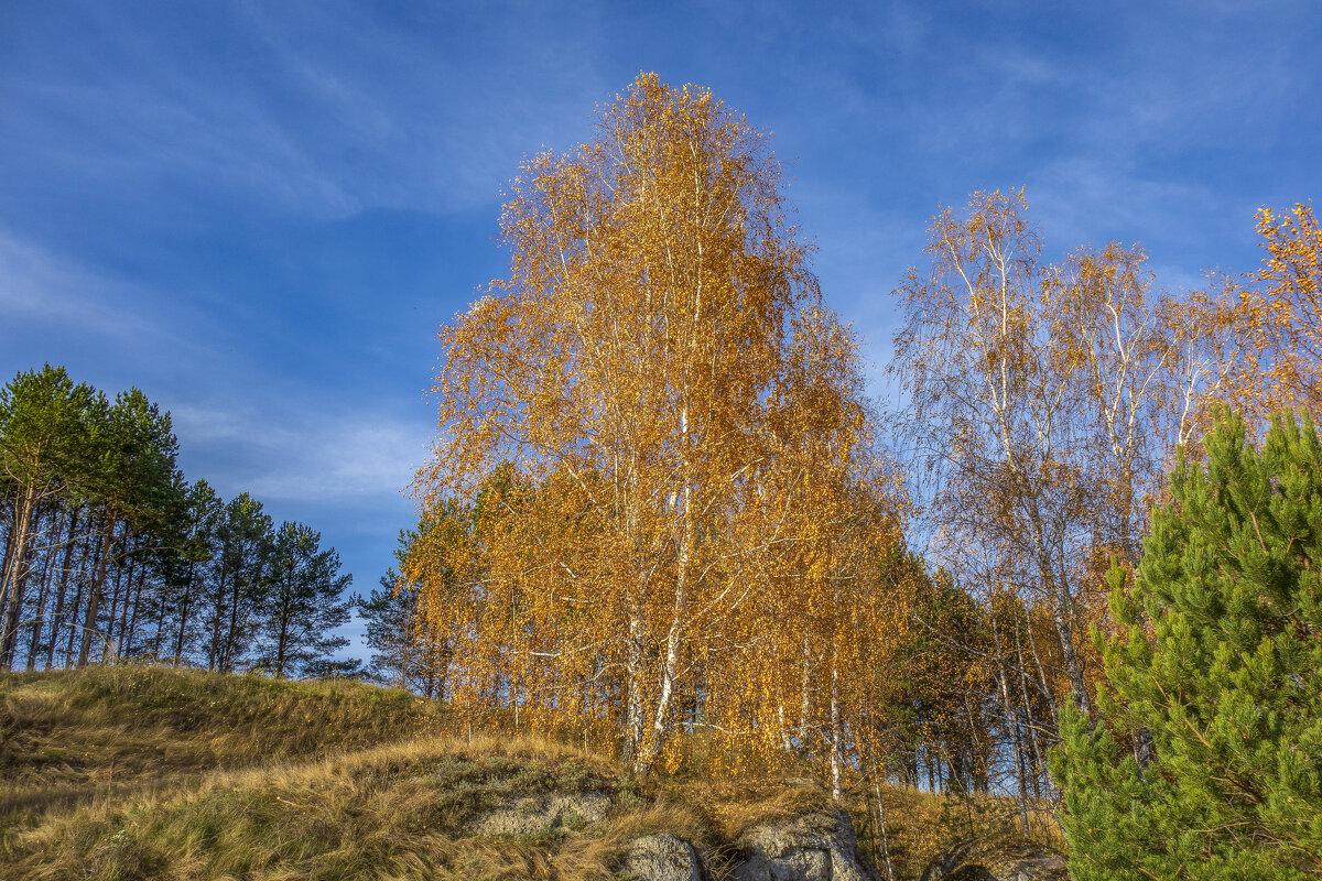 Желтая береза на горе - Алексей Сметкин
