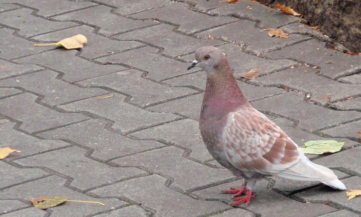 Необычной расцветки голубь - Зинаида Каширина