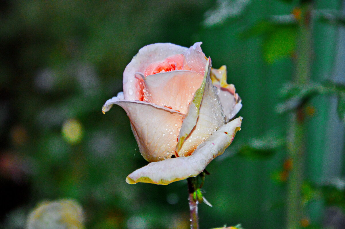 А розы тоже плачут - Юрий Владимирович