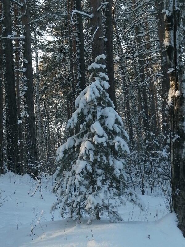 В лесу родилась ёлочка, в лесу она ростёт.. - ОКСАНА ЮРЬЕВНА ШВЕЦ