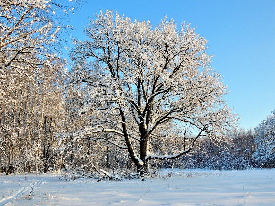 Зимние грёзы столетнего дуба