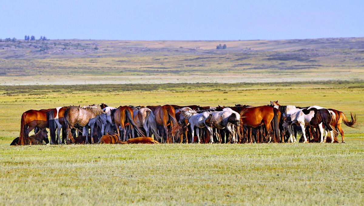 Табуны лошадей на Танабае. - Штрек Надежда