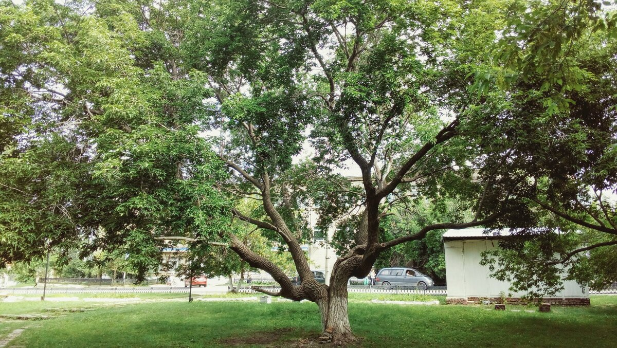 Дерево в парке - ЮраВолли