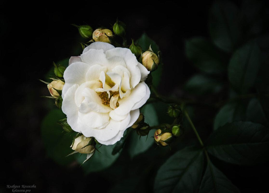 Роза - Клавдия