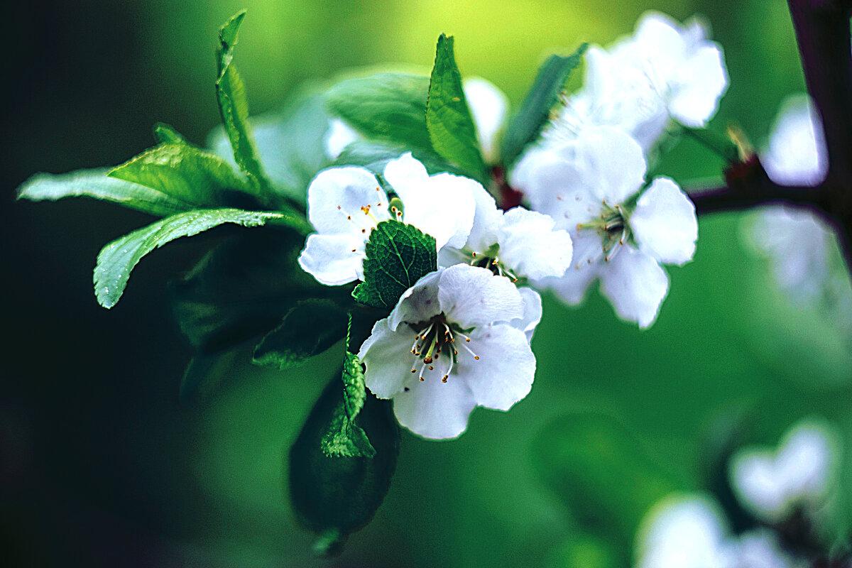 Цветы яблони - Alexandra