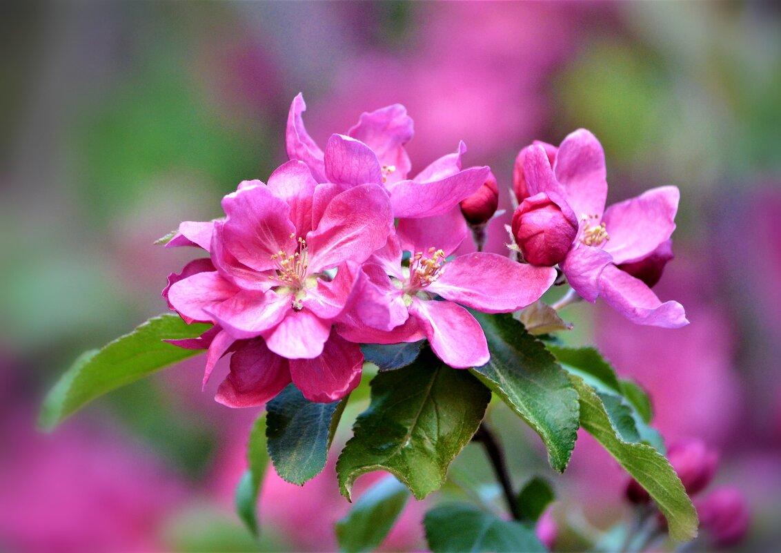 Цветущих яблонь волшебство... - Ольга Русанова (olg-rusanowa2010)