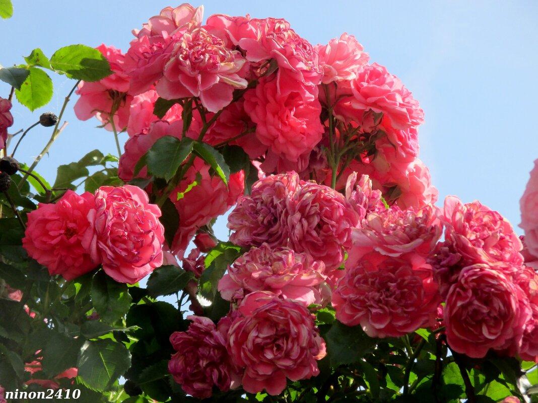 Розы - Нина Бутко