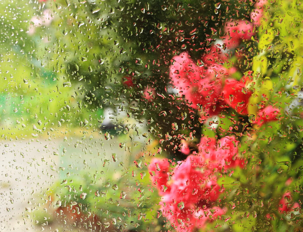 Розы и дождь 3 - просто Борисыч