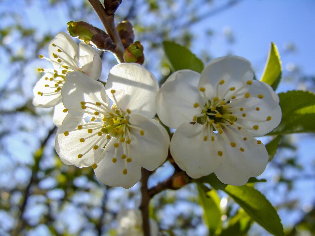Цветки вишни... - Наталья Меркулова