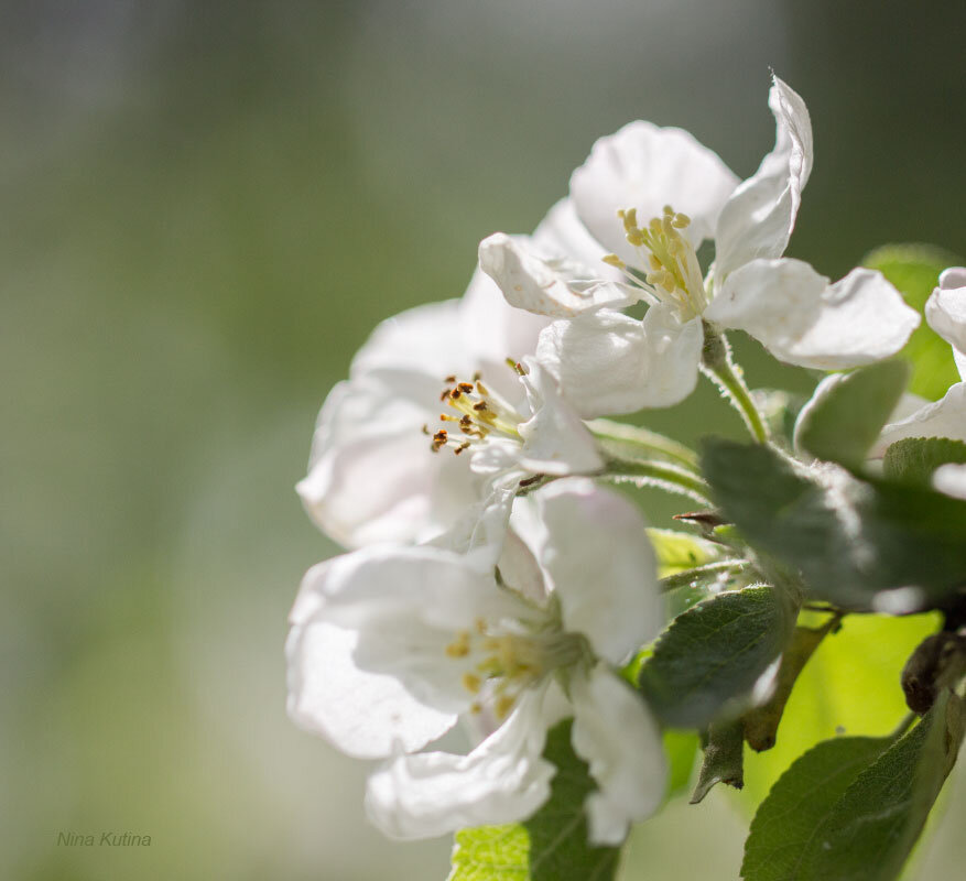 Яблони в цвету*** - Нина Кутина