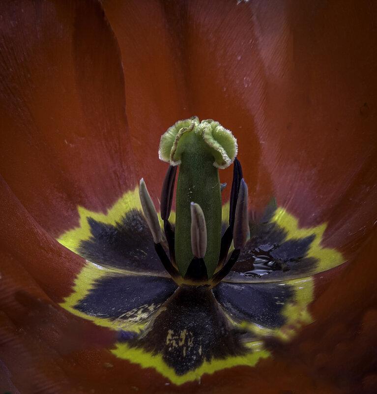 Сокровенная тайна тюльпана - Владимир Шамота
