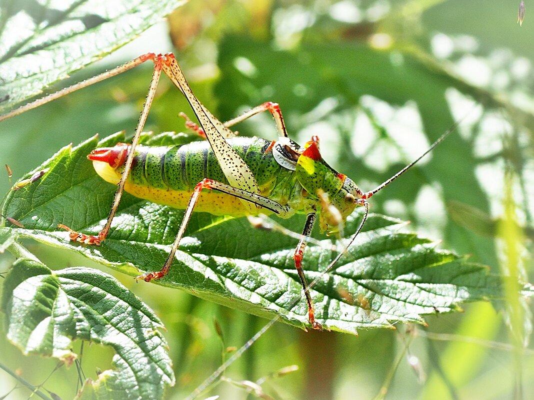 Кузнечик Пластинохвост обыкновенный - Leptophyes albovittata (редкий вид) - Alm Lana